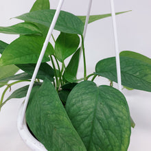 "Load image into Gallery viewer, Cebu Blue Pothos (Epipremnum Pinnatum) 4.5"" HB"