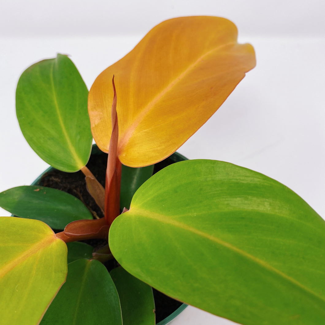 Philodendron Prince of Orange 4