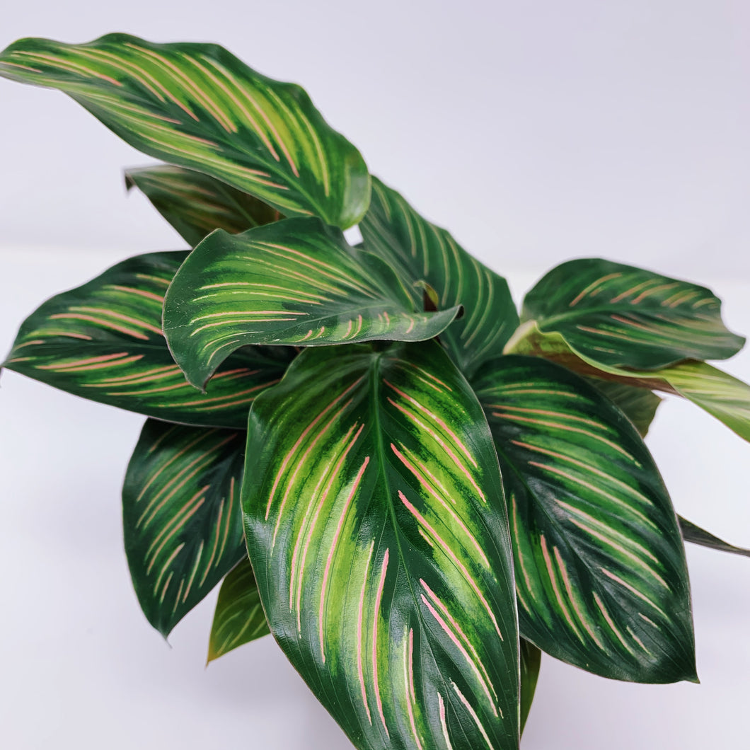 Calathea Beauty Star 4