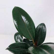 Load image into Gallery viewer, Ficus Elastica Burgundy 6""