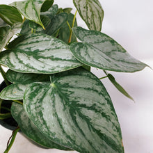 "Load image into Gallery viewer, Philodendron 'Brandi' 6"" (HUGE)"