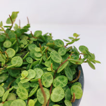 "Load image into Gallery viewer, Peperomia Prostrata 'String of Turtles' 6"" HB"