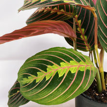 Load image into Gallery viewer, Red Maranta 'Prayer Plant' 4""