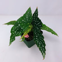 Load image into Gallery viewer, Begonia Maculata Hybrid 4""