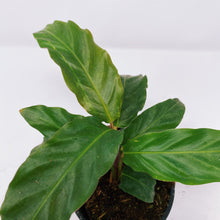 Load image into Gallery viewer, Calathea Rufibarba 4""
