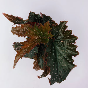 Begonia Dragon Wing 'Stardust' 4""