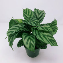 Load image into Gallery viewer, Calathea 'Concinna' 4""
