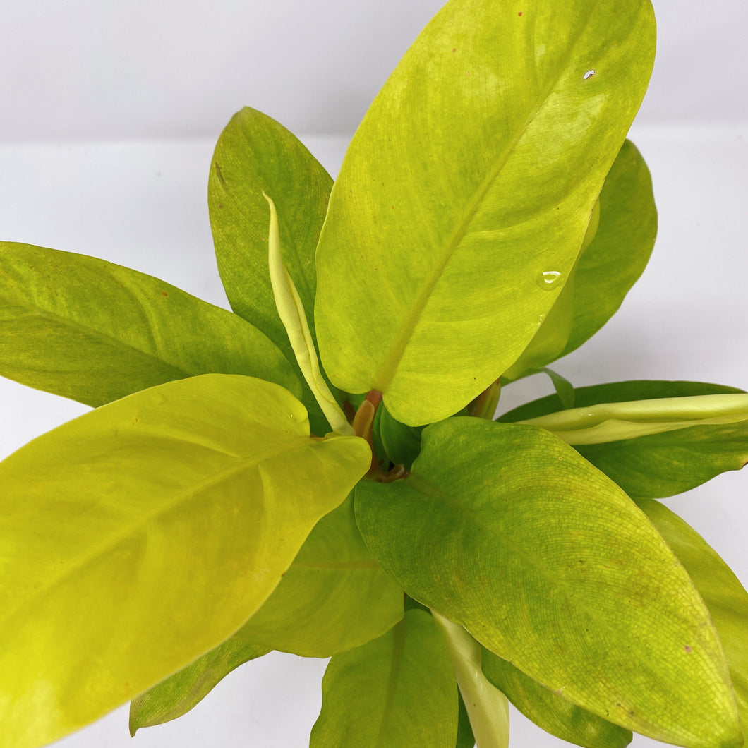 Philodendron Golden Emerald 4