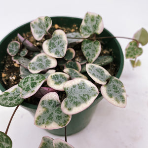 Variegated String of Hearts 3""