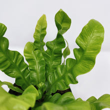 Load image into Gallery viewer, Crispy Wave Fern 4""