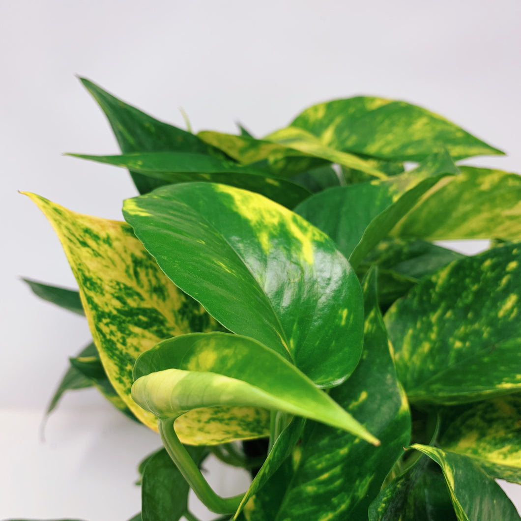 Golden Pothos 6