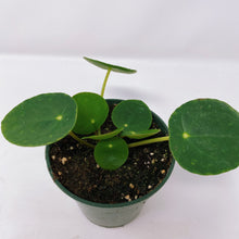 Load image into Gallery viewer, Pilea Peperomioides 4""