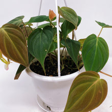 "Load image into Gallery viewer, Philodendron 'Micans' 4.5"" HB"