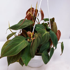 Philodendron 'Micans' 6""