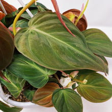 Load image into Gallery viewer, Philodendron 'Micans' 6""