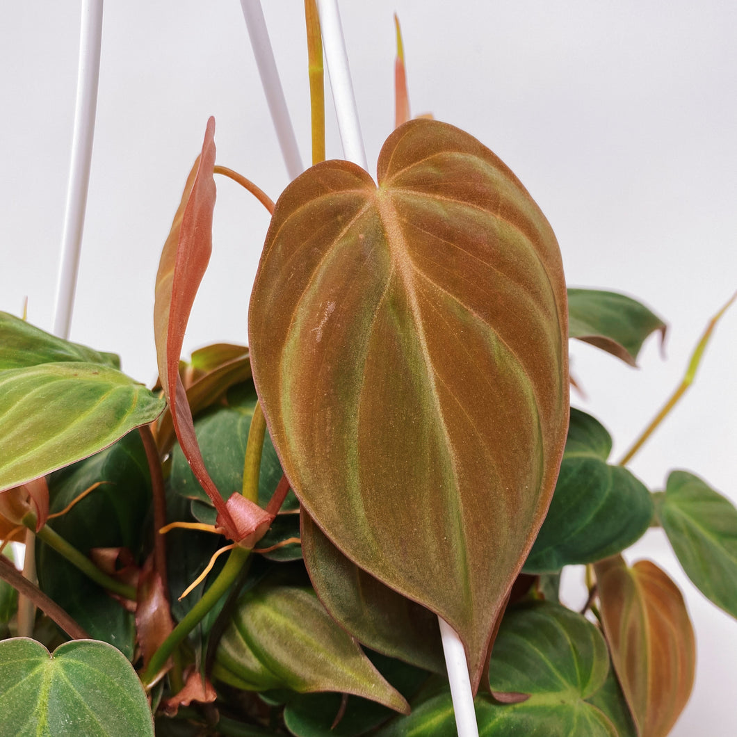 Philodendron 'Micans' 6