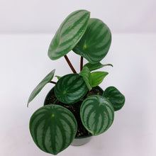 Load image into Gallery viewer, Watermelon Peperomia 3""