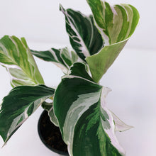 Load image into Gallery viewer, Calathea White Fusion 4""