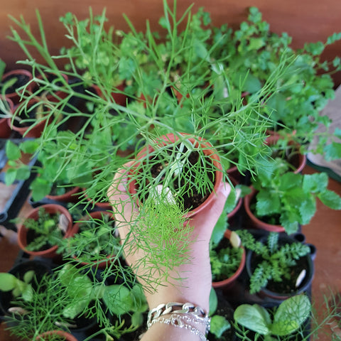Herb Plant - Fennel Romanesco