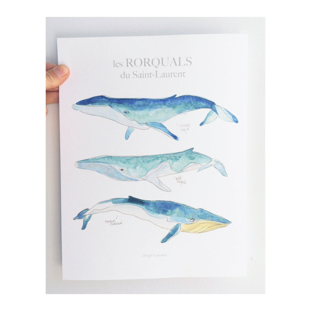 ILLUSTRATION BALEINE - RORQUALS