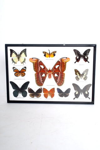 777 Butterfly Taxidermy SOLD OUT