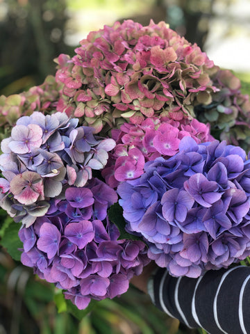 Bunch of blue and pink hydrangeas