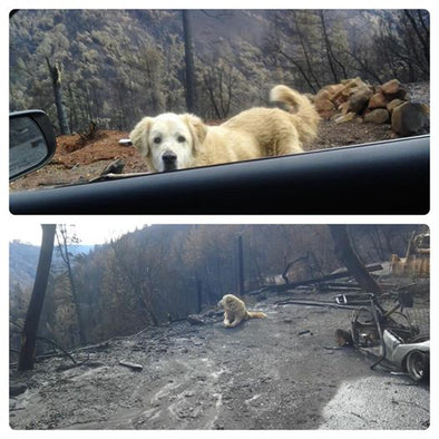 Lost Dog Waits for Owners After Their Home Burns Down in California