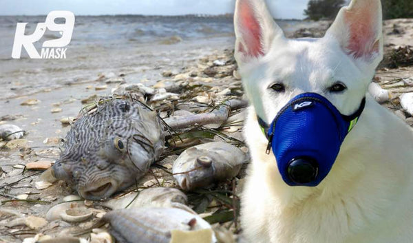 Red Tide toxins create harmful breathing for humans and pets.