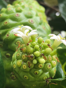 ALL ABOUT THE NATURAL NONI FRUIT