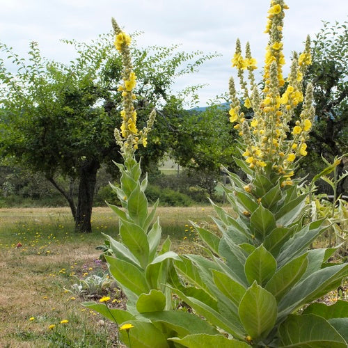 American Gypsy Herbalist- Top 5 Herbs for Treating the Common Cold and Flu- Mullein