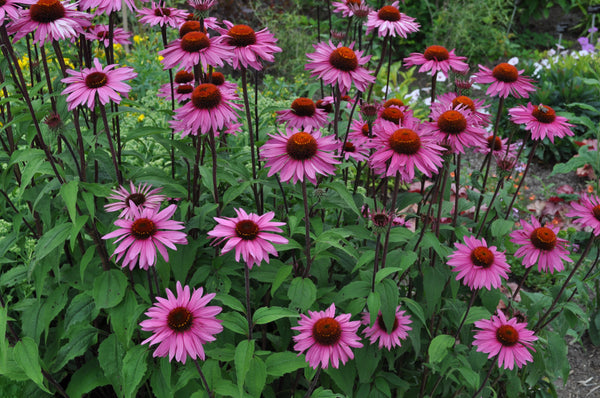 American Gypsy Herbalist- Top 5 Herbs for Treating the Common Cold and Flu- Purple Coneflower