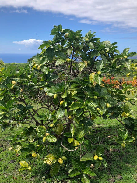 Noni Fruit Tree for Noni Fruit Blog by Stephen Huggins - on American Gypsy Herbalist