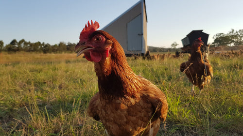 Pasture Raised Pullets