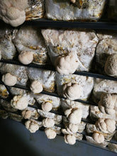 Load image into Gallery viewer, Mushroom Box - Lions Mane