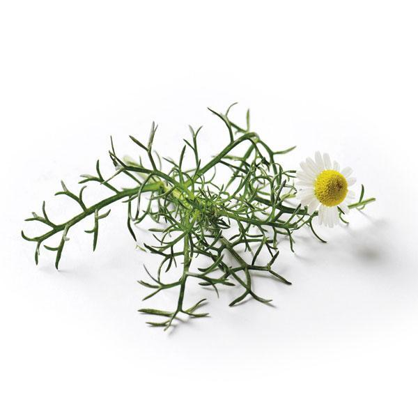 Chamomile Romana Seeds - Romaine Calm Scotland