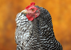 Barred Plymouth Rock chicken in backyard