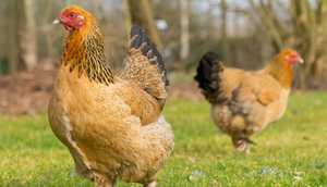 Brahma Chicken: The Most Comprehensive Guide to this Giant Breed