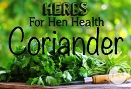 Herbs-For-Hen-Health-Coriander