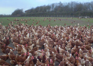 enormous flock of chickens in an english field