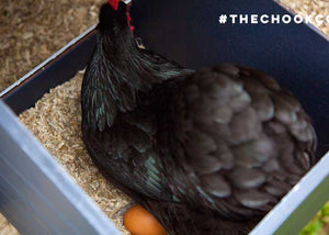 australorp chicken in nesting box of coop with egg