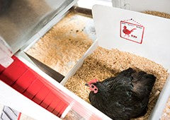 Black Australorp bantam chicken laying in taj mahal nesting box