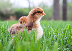 Baby chicks in backyard grass