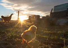 Baby chicken running around at sunrise