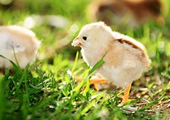 Baby chicks grow up healthy with starter chicken feed