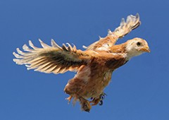 Even young chickens can be surprisingly capable at flying