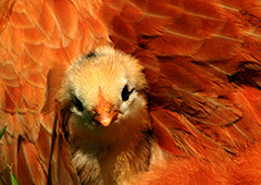 Baby chicken nestling in mother hen plumage