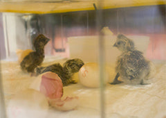 Baby chicks hatching in an incubator