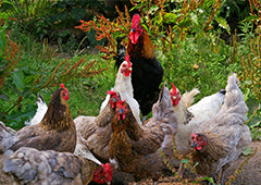 Backyard chicken flock with rooster