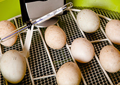 Unwashed backyard chicken eggs in an incubator with thermometer