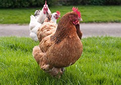backyard chickens love to free range in the grass